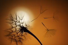 Flying dandelion seeds. On a sunset background Stock Photos