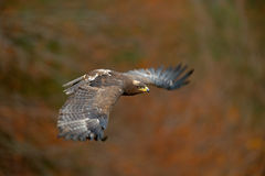 Flying dark brawn bird of prey Steppe Eagle, Aquila nipalensis, with large wingspan Royalty Free Stock Image