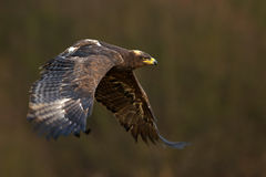 Flying dark brawn bird of prey Steppe Eagle, Aquila nipalensis, with large wingspan Royalty Free Stock Images