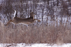 Flying Deer Stock Photography