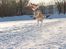 Flying disk played bad joke with a jumping dog. Jack Russell Terrier playing on ice pond Stock Photo