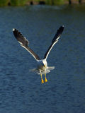 Flying dive. A seagull prepares to land in the water, or maybe its diving for food Royalty Free Stock Photo