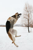 Flying dog. Stock Photos