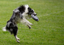 Flying dog Stock Photography
