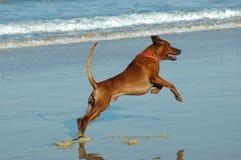 Flying dog stock photography