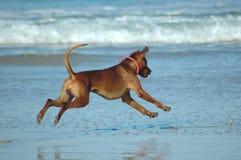 Flying dog royalty free stock photo
