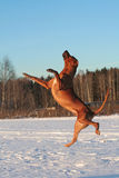Flying dog. Didn't you know, Rhodesian ridgeback can flight Stock Photo