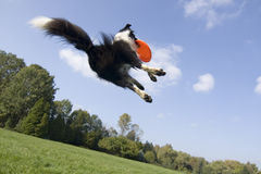 Flying dog. Border collie playing with frisbee Stock Photos