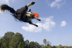 Flying dog. Border collie playing with frisbee Royalty Free Stock Photos