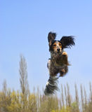 A flying dog! Royalty Free Stock Photo