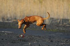 Flying dog. Above the ground bounce Stock Image