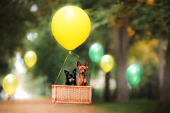 Flying dog on the balloon in the basket . Little pet on the nature in the park. Summer time. Festive walk. Celebration royalty free stock photos