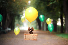 Flying dog on the balloon in the basket . Little pet on the nature in the park. Summer time. Festive walk. Celebration royalty free stock photo