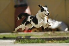 Flying dog Stock Photo