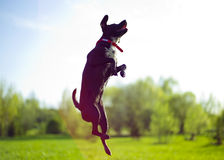 Flying dog. The photo of jumping dog, sunny day royalty free stock photos