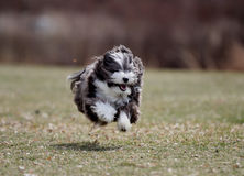 The flying dog. A dog runs in the park with all four legs off of the ground. A very healthy dog running Royalty Free Stock Photos