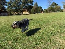 Flying Dog Schnauzer royalty free stock photography