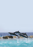 Flying Dolphins. Dolphins jumped out from water on dolphin show in Curacao Royalty Free Stock Photo