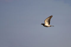 Flying Dove. On the sky royalty free stock photography