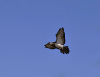 Flying dove. Against blue sky Royalty Free Stock Photo