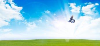 Flying  dove Royalty Free Stock Photos