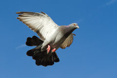Flying dove. In full format, seen from high angle Royalty Free Stock Image