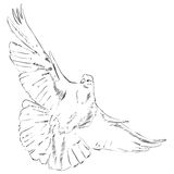 Flying dove Royalty Free Stock Photo