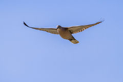 Flying dove. Flying European Collared dove (Streptopelia decaocto) against blue sky Stock Photos