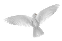 Flying dove. Free flying white dove isolated on a white background Stock Photography