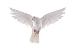 Flying dove. Free flying white dove isolated on a white background