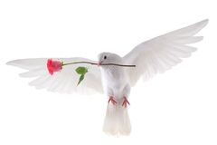 Flying dove Stock Photography