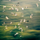 Flying dove group. Blur motion Royalty Free Stock Photos