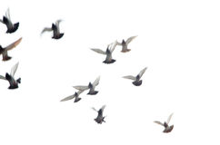 Flying dove group. Blur motion Stock Images