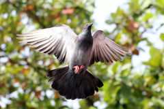 Flying dove. With nature background Royalty Free Stock Image