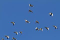 Flying Doves. In the sunny blue sky Stock Image