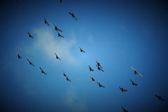 Flying doves. With bule sky Stock Image