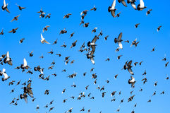 Flying doves Stock Photos