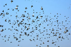 Flying doves. A flock of doves flying in blue sky royalty free stock photography