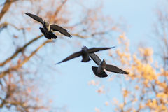 Flying doves. On the background of the autumn sky Royalty Free Stock Photos