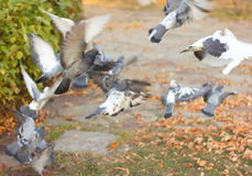 Flying doves. Dove on the background of autumn park. soft focus Royalty Free Stock Photography