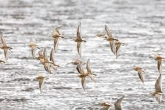 Flying dowitcher and sandpiper Stock Photos