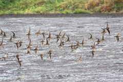 Flying dowitcher and sandpiper. At Richmond BC Canada 2017 Sep Stock Photography