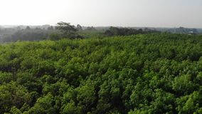 Flying down above the evergreen trees. Flying down from above the evergreen rubber trees in tropical country stock video footage