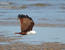Flying down the beach. A Brahmani Kite flies along the water's edge Royalty Free Stock Image