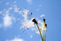 Flying with down wind. The dandelion seeds flying with down wind royalty free stock images