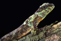 Flying dragon (Draco sp). Flying dragons are lizards that are able to spread their ribs and are able to glide between trees Stock Image