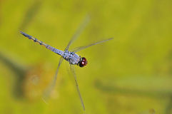 Flying Dragonfly Royalty Free Stock Photos