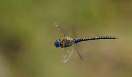Flying dragonfly Royalty Free Stock Images