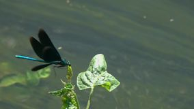 Flying dragonfly Beautiful Demoiselle /Calopteryx virgo/ over the stream of water close-up in slow motion