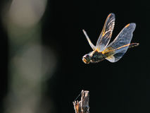 Flying dragonfly at contrast lightening Royalty Free Stock Photos
